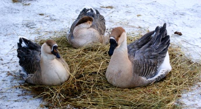 3 гусыни на гнезде