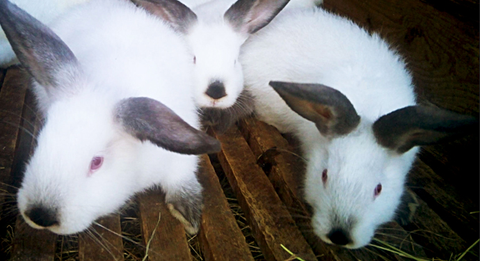 3 калифорнийских кролика