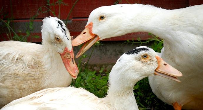 3 нездоровых гуся