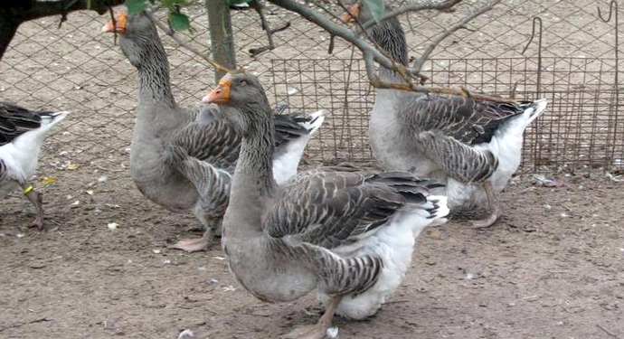 3 тулузских гуся во дворике