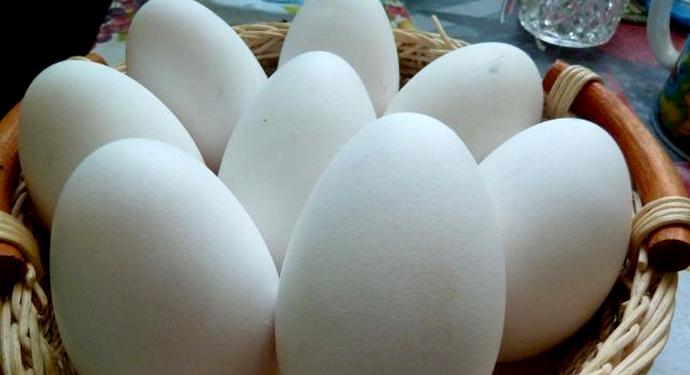 8 яиц гуся тулузской породы