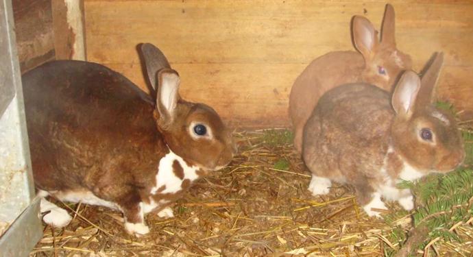 активные домашние кролики