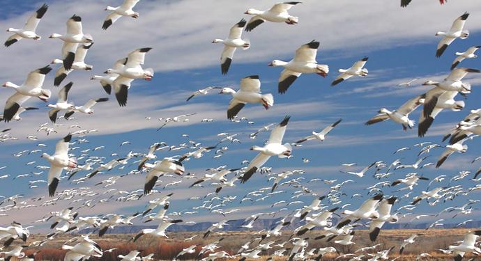 большое количество гусей