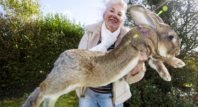 большой старый кролик