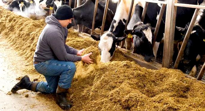 бычки едят сено с рук