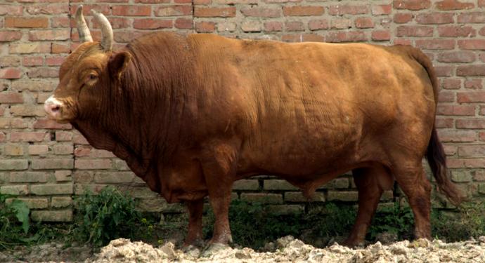 бык калмытской породы