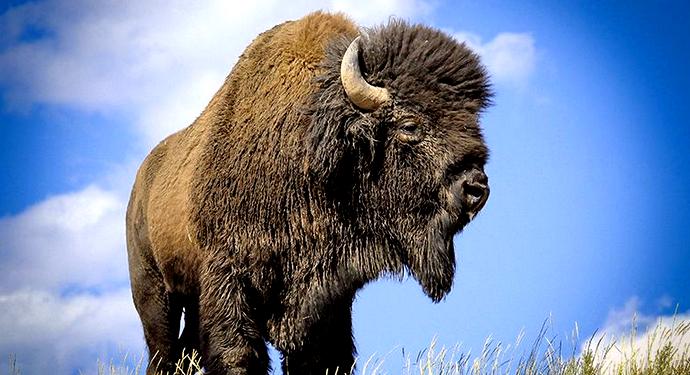 бурый бизон