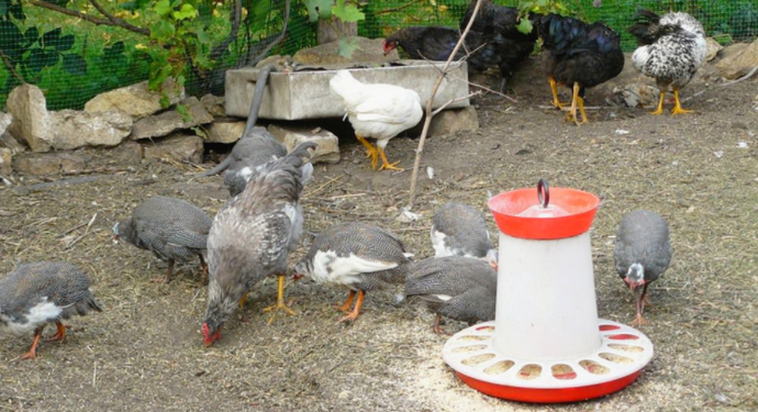 домашние цесарки клуют пищу