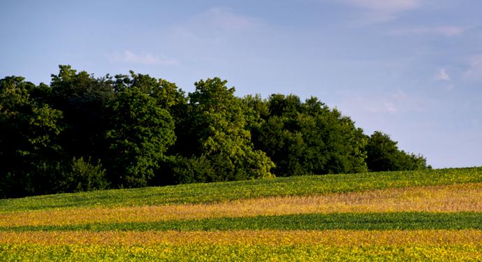 желтые поля в америке