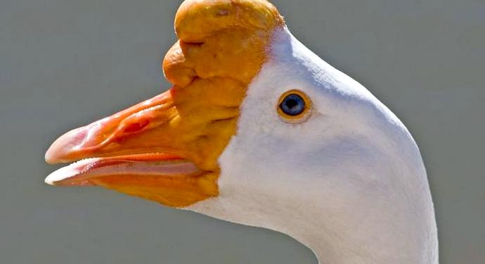 клюв гуся породы лида
