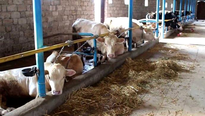 коровы отдыхают в сарае