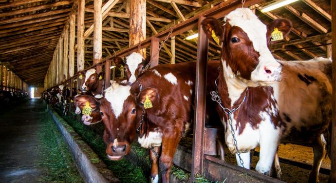 коровы в стойле для рогатых