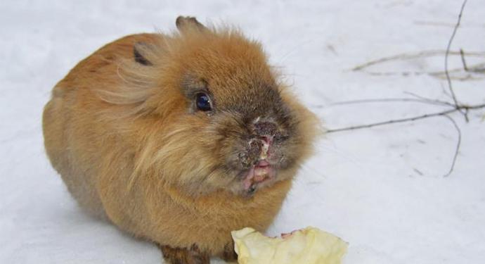 кролик со стоматитом