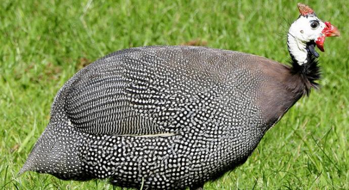 крупная африканская цесарка