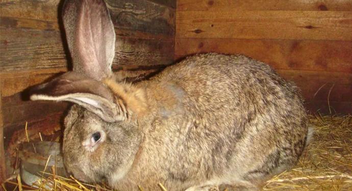 крупный больной кролик