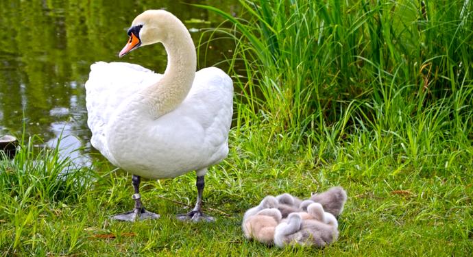 лебедь со своими птенцами