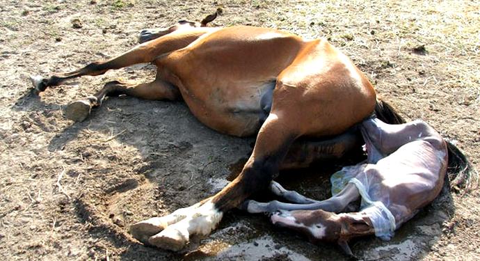 лошадь и жеребенок после родов