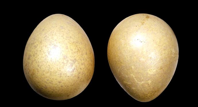 пара яиц цесарки