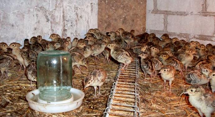 помещение с птенцами цесарят