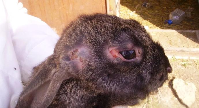 поврежденная шкурка кролика