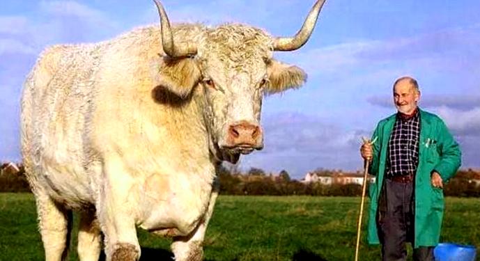 самый тяжелый бык