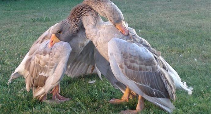 тульские гуси друг друга кусают
