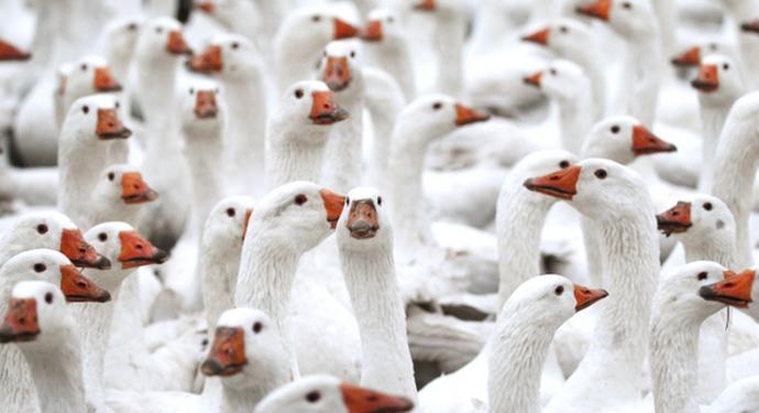 внешний вид гусей