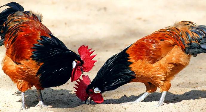 2_odinakovuh_petuha Породы петухов мясного, декоративного и бойцового направлений