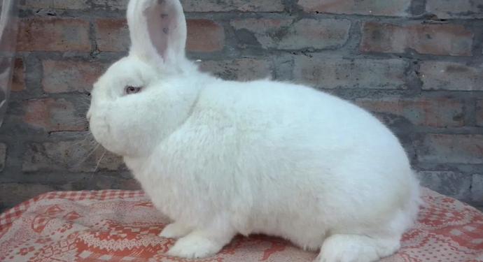 белый новозеландский кролик