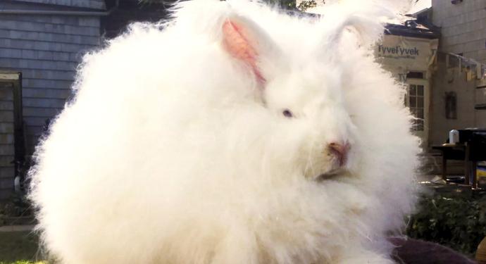 большой белый крол
