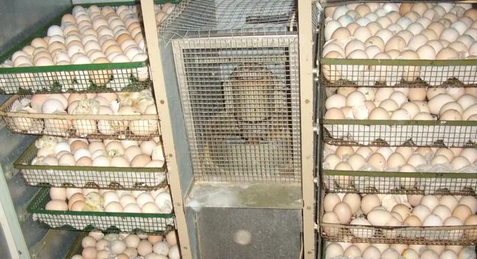 инкубатор для яиц индейки