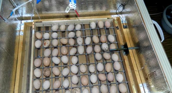 инкубатор и яйца