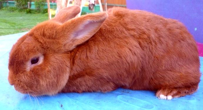красный ушиприжатый кролик