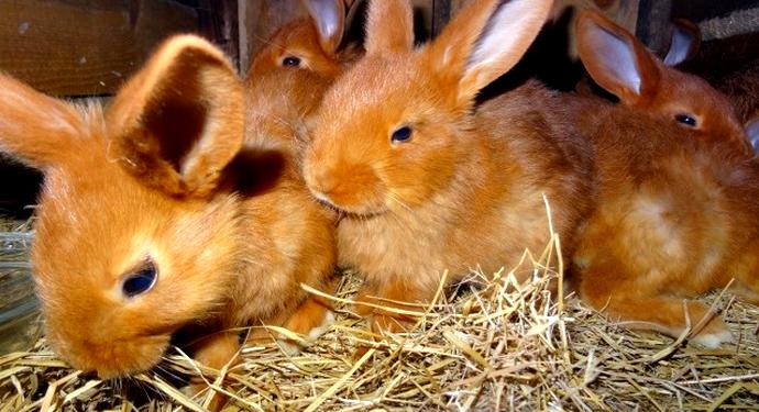 маленькие красные кролики