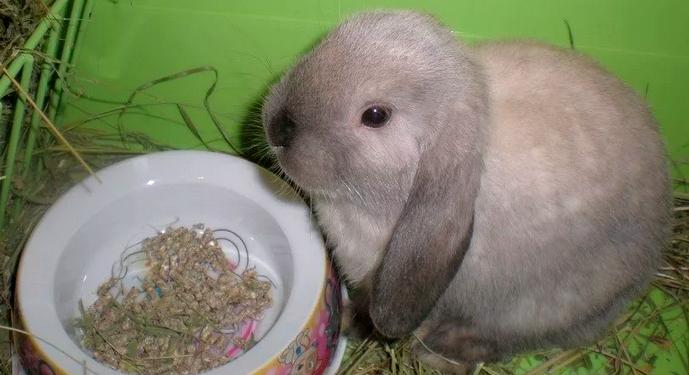 маленький вислоухий кролик
