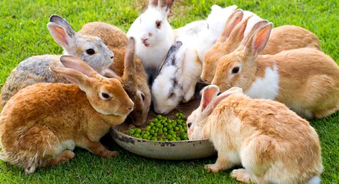 много маленьких кроликов едят горох