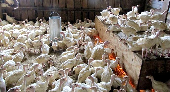 После того, как птенцы вылупились, в течение первых 12 часов их следует напоить теплой водой из пипетки и дать немного мешанки, сделанной на основе вареного яйца и измельченного пшена.