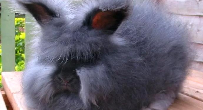 пушистый ангорский кролик
