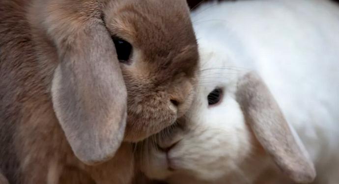 семейная парочка кроликов