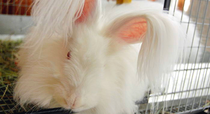 ушастый ангорский кролик