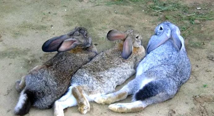 3 кролика фландр