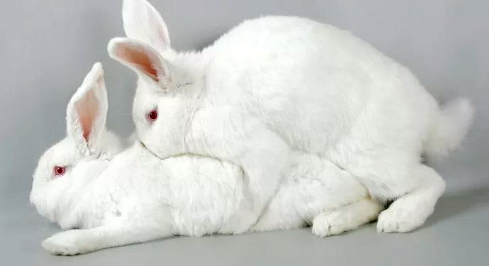 белые кролики спариваються