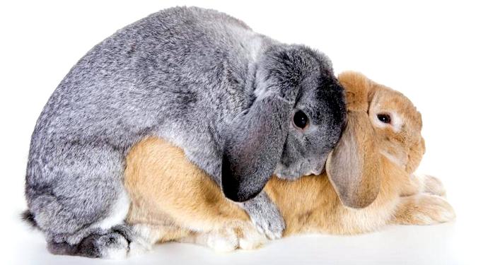 случка двух породистых кроликов