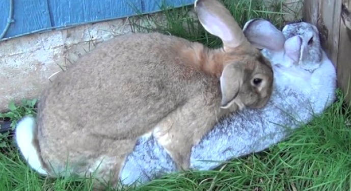 случка крола и крольчихи
