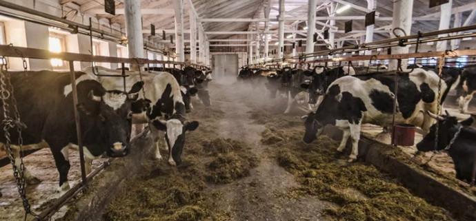 хлев с коровами