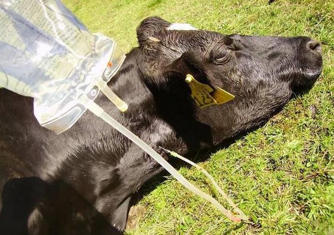 корова под капельницей