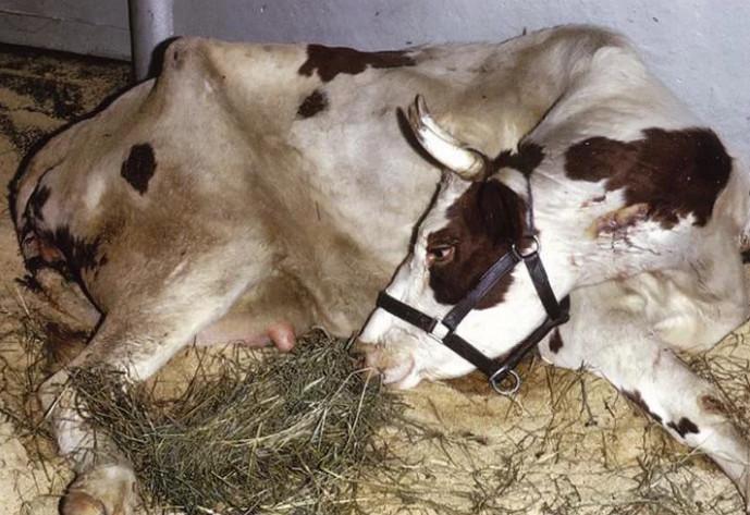 корова заболела