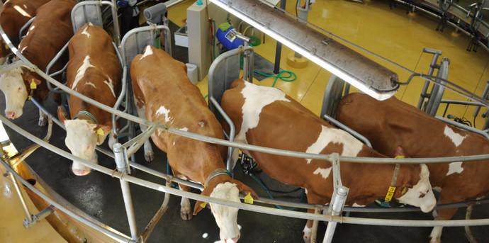 коровы стоят