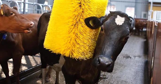 корову чистят