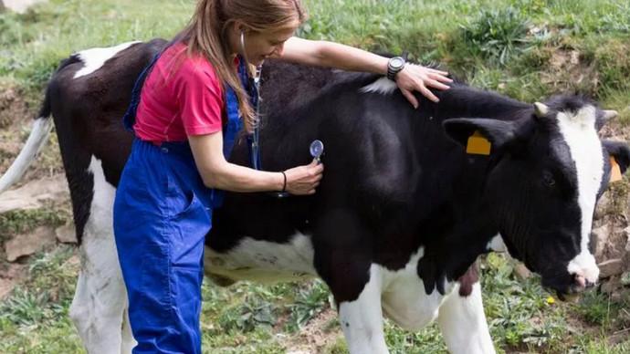 корову слушают